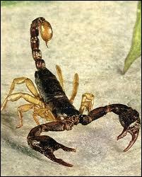 Est-il exact que la piqûre de certains scorpions soit mortelle ?