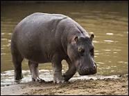L'hippopotame peut charger à 45 km/h et tue plus de 200 personnes par an :