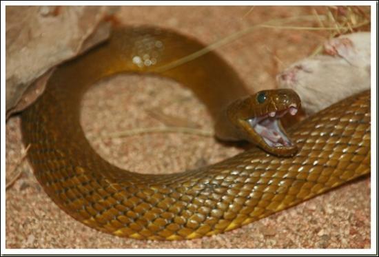 Ce serpent est le Taipan intérieur d'Australie :