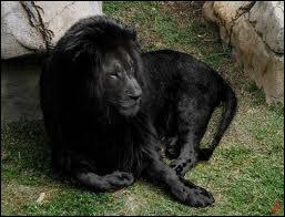 La mélanine est présente sur le lion, donc il peut être noir ...