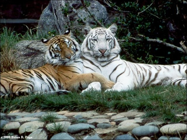 Quel tigre peut être blanc ?