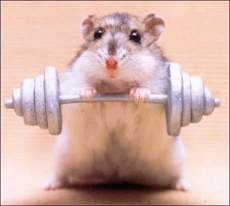 Ce hamster fait de l'haltérophilie !
