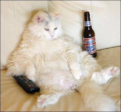 Ce chat est américain !