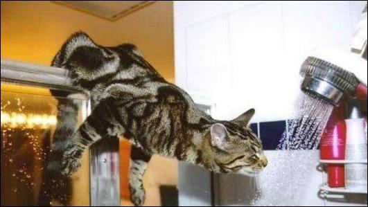 Tous les chats domestiques détestent l'eau !