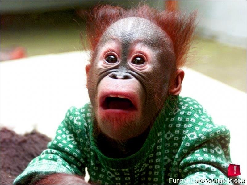 Ce chimpanzé vit en Afrique !
