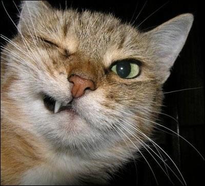 Un rongeur peut être plus gros qu'un chat domestique !