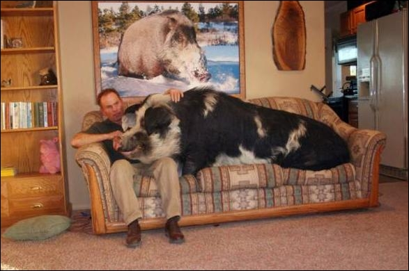 Un cochon peut peser une tonne !