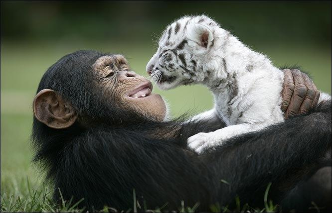 Sur la photo, on peut voir un jeune chimpanzé et une jeune panthère !