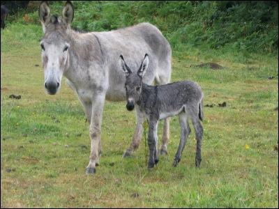 Le petit de l'âne s'appelle ...