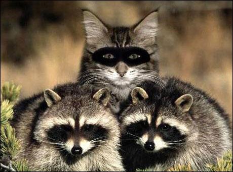 Un chat plus deux ratons laveurs, égal :