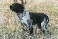 Quelle est la race de ce chien utilisé pour la chasse ?