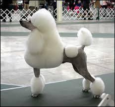 Cette race est souvent utilisé pour les concours canins de beauté et souvent apprécié par les femmes, quelle est la race de ce chien ?