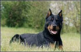 Je suis un chien qui a une particularité d'avoir le double ergot, j'ai souvent beaucoup de tempérament, qui suis-je ?