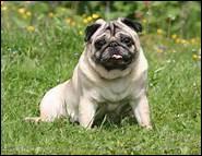 Ce chien est reconnu pour sa grande sensibilité et sa petite bouille. Quel est ce chien ?