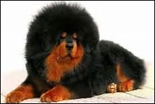 Je suis un chien pouvant peser le poids d'un homme, j'ai beaucoup de poils et je corresponds à la photo ci-dessous. Qui suis-je ?
