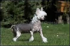 Ce chien si original était déjà connu au XIIe siècle avant notre ère. Vous avez donc largement eu le temps de le reconnaître.