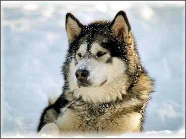 A quelle race appartient ce chien vivant vers les pays froids ?