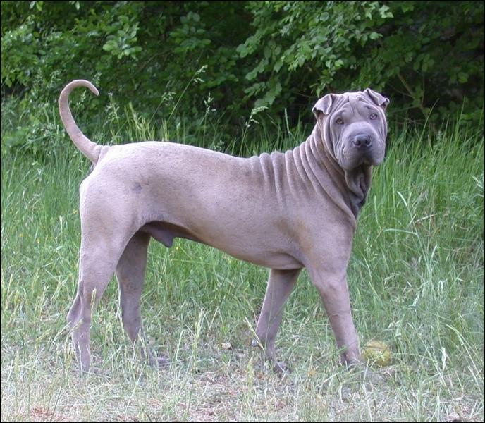 A quelle race appartient ce chien originaire de la Chine et a la particularité d'être   plissé   ?