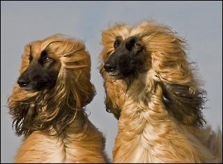Ce chien est aussi appelé   Tazi   et est originaire d'Afghanistan, quelle est cette race ?