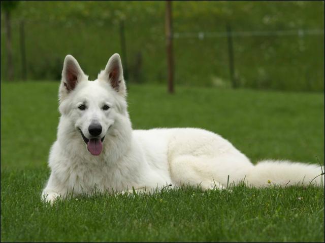 Ce chien pourrait peser 50kg pour un mâle et est très affectueux, quelle est cette race ?