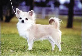 A quelle race appartient ce chien étant le plus petit chien du monde ?
