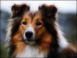 A quelle race appartient ce chien pouvant être une aide aux Bergers ?
