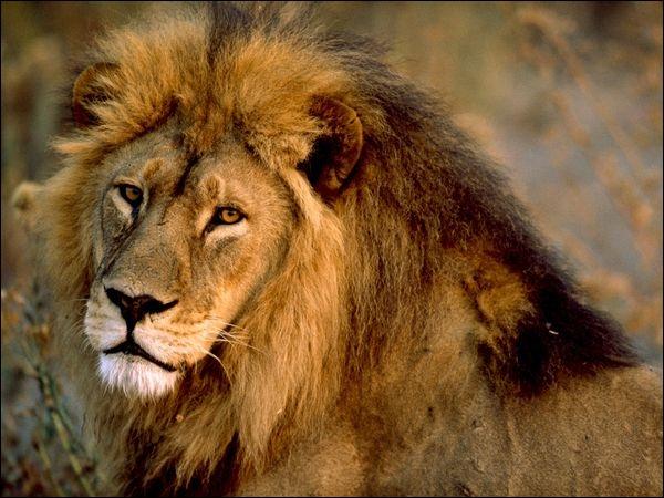 Combien pèse un lion environ ?