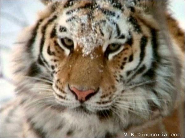 TIGRES : Combien reste-t-il de tigre de Sibérie dans le monde ?