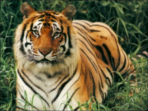 Quelle est la longueur d'un tigre du Bengale mâle ?