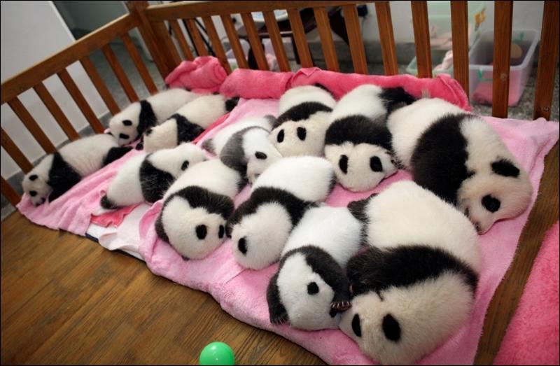 Le panda est un ursidé, de la même famille que l'ours !