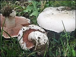 Comment allez-vous classer ce champignon ?