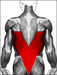 Quelle est la dénomination commune de ces muscles ?