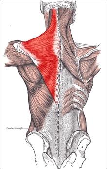 Ce groupe musculaire se divise en trois parties :  supérieure ,  moyenne  et  inférieure . Ce sont...