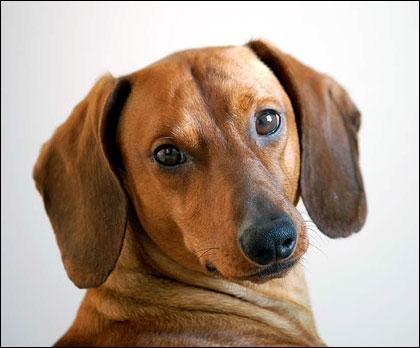 Quelle est la race de ce chien venant d'Allemagne ?