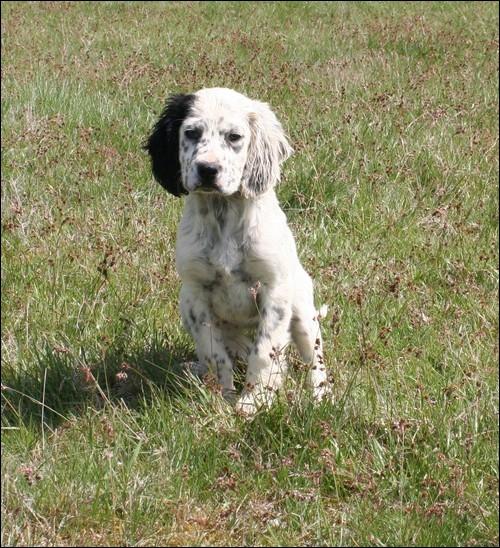 Quelle est la race de ce chien qui est d'origine britannique ?