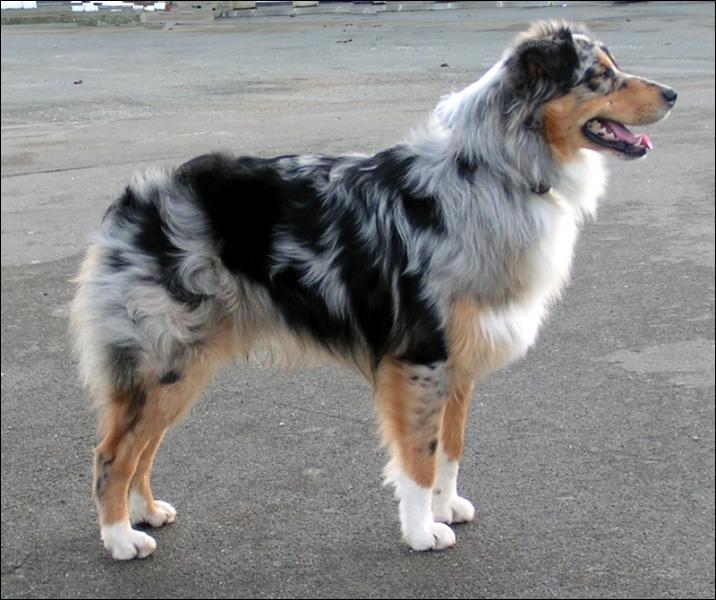 Quelle est la race de ce chien pesant de 20 à 30 kilos ?