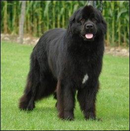 Quelle est la race de ce grand chien ?