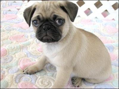 Quelle est la race de ce chien pesant de 6 à 10 kilos ?
