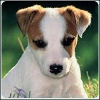 Quelle est la race de ce chien venant d'Angleterre ?