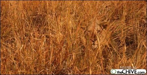 Un lion est caché dans ces herbes !