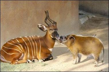 Cette antilope africaine (à gauche de la photo) a été découverte tardivement, c'est l'okapi !