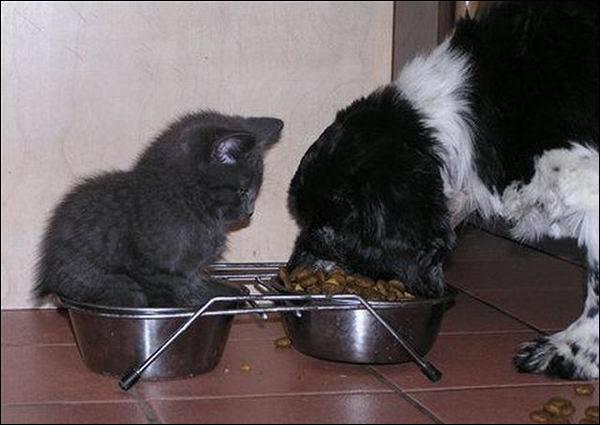 En règle générale, on laisse les chiens et les chats manger dans la même gamelle !