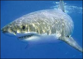 Combien y a-t-il d'espèces de requins ?