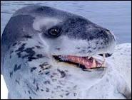Le léopard de mer est un Cétacé ?