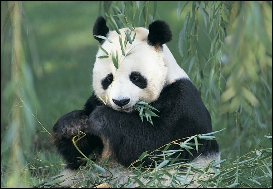 Quelle est la nouriture principale des pandas ?