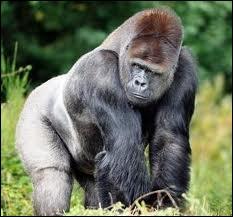 Le gorille est le plus grand singe. Il vit ...