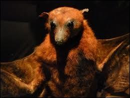 La plus grande chauve-souris, la roussette de Malaisie (ou grand renard volant) qui a une envergure d'1, 70 m est ...