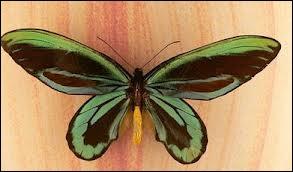 Quel est le plus grand papillon ?
