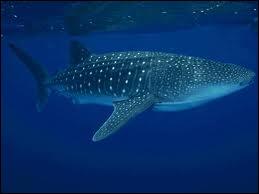 Quel requin est le plus grand des poissons vivant à l'heure actuelle ?