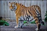 Le tigre est le plus grand félidé. Lequel est le plus grand ?